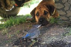 Xavi is a purebred 18-month-old male Boerboel available for adoption in Northern CA (1/2016).