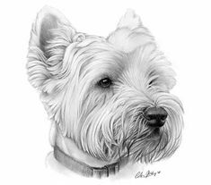 'Westie' West Highland White Terrier pet portrait graphite pencil drawing by Giles Illsley