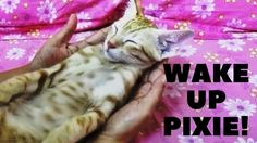 WAKE UP PIXIE! Why do cats sleep so much!  With all the coaxing and cajoling, does Pixie wake up from his sleep? Why do cats sleep so much? Enjoy this cute video and find out.