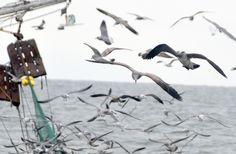 Birds flocking around a shrimp boat on the Atlantic.