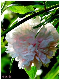 Did you know that the peony is viewed in Chinese culture as the queen of flowers, and symbolizes riches and honor? I love peonies, so. Chinese Culture, Peony, Queen, Flowers, Plants, Peonies, Plant, Royal Icing Flowers, Flower