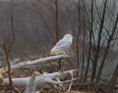 Snowy Owl. Presque Isle trail cam