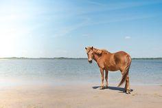 Natalie Buck Photography / Wild Assateague Pony / Connecticut fine art photographer assateague-LR-1-of-1-4.jpg 1,200×800 pixels