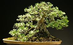 English Ivy Bonsai tree (Hedera Helix)