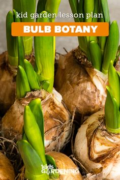 Bulbs are plants growing from an underground mass of food storage tissues. The storage capacity of a bulb is a special adaptation for survival. School Gardens, Lessons For Kids, Step By Step Instructions, Botany, Amazing Gardens, Lesson Plans, Homeschool, Gardening, Science