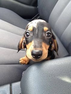 Dachshund puppy eyes are one of the pure forces of good left in this cruel world. Dachshund Funny, Dachshund Puppies, Weenie Dogs, Dachshund Love, Daschund, Doggies, Piebald Dachshund, Tiny Puppies, Cute Puppies