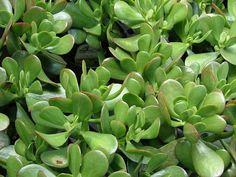 TOP 10 növény, ami elhozza a boldogságot az otthonodba – Balkonada Crassula Ovata, Feng Shui, Grands Pots, Plant Images, Different Plants, Bonsai, Wealth, Succulents, Home And Garden