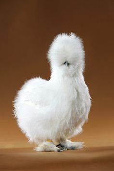 Silkie chicken. http://homesteadbound.hubpages.com/hub/Silkie-Chicken-Colors