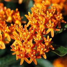 "PERENNIAL & DEER RESISTANT:  ""Butterfly Weed"" (Asclepias--aka milkweed)    PLACEMENT:   Front garden, by the road."