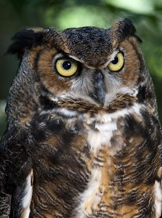 Great Horned Owl, by Steven Rossi - 500px