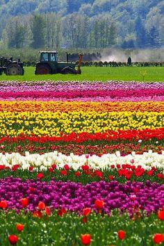 Agassiz Tulip Festival, Seabird Island, Canadá