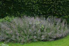 CALAMINTHA nepeta 'Blue Cloud' - Bjergmynte, farve: blå/duftende, lysforhold: sol/halvskygge, højde: 40 cm, blomstring: juli - september, god til bunddække, god til bier og andre insekter.