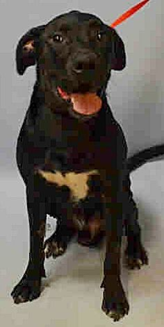 SUPER URGENT 12/12/16 Brooklyn Center GUINNESS – A1098813  **RETURNED 12/12/16, HOLD DOH – B**  NEUTERED MALE, BLACK / WHITE, LABRADOR RETR / AM PIT BULL TER, 1 yr RETURN – ONHOLDHERE, HOLD FOR DOH-B Reason BITEANIMAL Intake condition UNSPECIFIE Intake Date 12/12/2016  http://nycdogs.urgentpodr.org/guinness-a1098813/