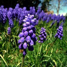 Hyacinth | muscari grape hyacinth flower muscari grape hyacinth flower mrflores. I have some of these.