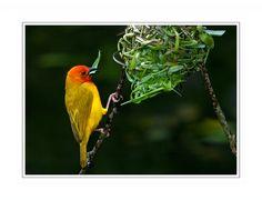 Palm Weaver Bird