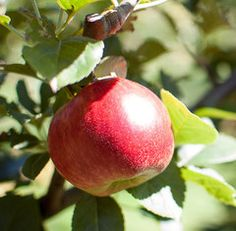 The Hetlina apple is a heritage European variety which has come out on top in recent tests for health giving flavonoids. Pear Trees, Fruit Trees, Apple Varieties, Apples, Plants, Country, Health, Top, Backyard Farming