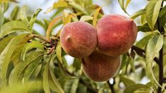 This guide is about growing fruit trees Producing your own fruit is very rewarding but requires attention to many different thingsThis guide is about growing fruit trees. Growing Fruit Trees, Healthy Dinner Recipes, Garden, Fruit Fruit, Bio, Farms, Flowers, Falling Leaves, Apricot Tree