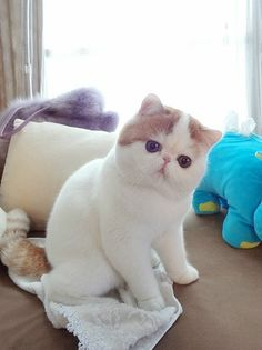 Exotic Shorthair Is My Fave Breed