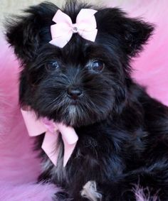 Tiny Teacup Morkie 1.9 lb at 11 weeks SOLD Finds Loving New Mommy. - Adopted Puppies - Cassie's Closet