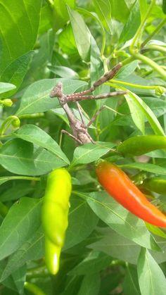 Thai Peppers, Stuffed Peppers, Vegetables, Food, Meal, Stuffed Pepper, Vegetable Recipes, Hoods, Veggies
