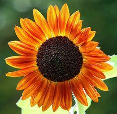 Sunflower, Photo Credit:  John Sutton #Airlie #AirlieGardens #Bloom #gardens #nhc #ilm #nature #sunflower
