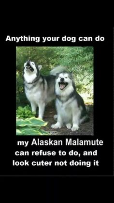So true! Spitz Type Dogs, Dangerous Animals, Snow Dogs, Alaskan Malamute, Crazy Dog, Happy Dogs, Animal Memes, Cute Dogs, Your Dog
