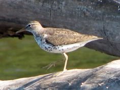 spotted sandpiper (tringa macularia) photographed at chain o' lakes state park in illinois, 2009