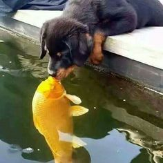Someone save that puppy, the Goldfish is gonna eat him!