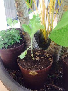 1 de marzo foto de la lechuga de como va su proceso, algunas de las hojas se han caído, esto sin embargo es normal