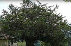 Radio Nacional  @rne  1m  En tiempos pasados los árboles ejercieron de primitivos parlamentos, ayuntamientos e incluso juzgados. #DocumentosRNE nos lo cuenta en 'Árboles de junta, guardianes de la palabra' rtve.es/n/1640280