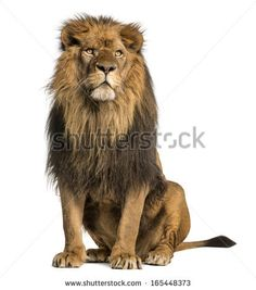 Lion sitting, looking away, Panthera Leo, 10 years old, isolated on white by Eric Isselee, via Shutterstock