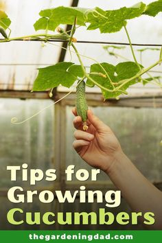 Do you want to grow cucumbers, but don't know where to start?  Read this article to learn 5 Easy Tips for Growing Cucumbers.  This is perfect for beginners who wants to grow cucumbers indoors, in containers, or in a garden.  #cucumbers #gardening #vegetables Organic Vegetables, Gardening Vegetables, Organic Gardening, Gardening Tips, Garden Pots, Garden Ideas, Pallets Garden, Raised Garden Beds, Homesteading