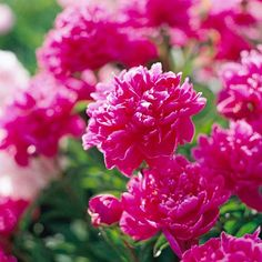 This old-fashioned, fuss-free plant can thrive for years with no special care at all: http://www.bhg.com/gardening/design/styles/fragrant-plant-favorites/?socsrc=bhgpin030814peony&page=18