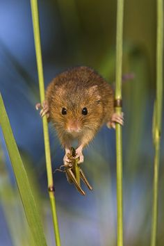 Harvest Mouse:  A harvest mouse balancing between two stalks of grass, by Jean-Louis Klein & Marie-Luce Hubert/Barcroft Media