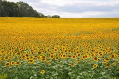 Cannot believe I never knew about this beautiful Sunflower Field in Jarrettsville, Maryland! Must see :)