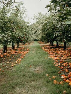 Apple Picking at Clive's Fruit Farm — Hannah Drake Apple Farm, Apple Orchard, Happy House, Girl House, Apple Tree, Fruit Trees, Garden Planning, Garden Landscaping, Garden Design