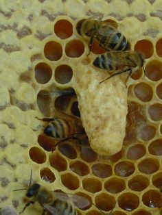 Queen cell: Several queens are laid in the queen cell. The first queen to emerge has to kill the other emerging or unemerged queens.