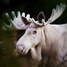 «The White King of the forrest  #moose #elg #discoverearth #marvelshots #instanaturefriends #worldcaptures #master_pics #ic_animals #insta_global…»