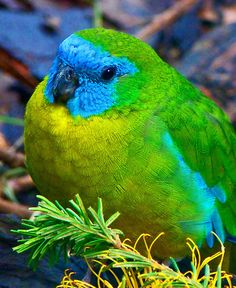 The Turquoise Parrot (Neophema pulchella) is a parrot of the grass parrot genus Neophema native to Eastern Australia, from southeastern Queensland, through New South Wales and into north-eastern Victoria by Margaret Saheed