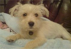 about Jack Russell Dogs/Mixes on Pinterest | Jack Russell Mix, Jack ...