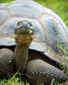 A giant Galapagos turtle on a walk ~ http://suitcasesandsunsets.com/galapagos-islands.html
