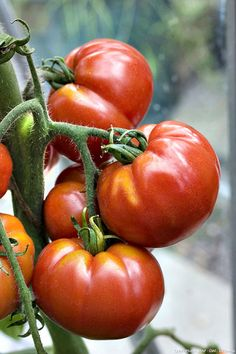 Best Garden Seeds Super Rare Competition Red Best Garden Seeds, 100 seeds, Professional Service Pack, big Zac heirloom tomato Big Zac heirloom tomato Seeds Quantity: 100 pieces Flowerpot: Excluded Type: Herbs By Best Garden Seeds Potager Bio, Potager Garden, Outdoor Plants, Outdoor Gardens, Heirloom Tomato Seeds, Partial Shade Plants, Full Sun Plants, Purple Garden, Home Garden Plants
