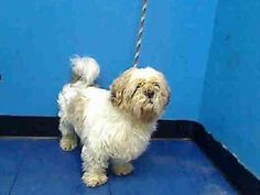 TO BE DESTROYED - 11/14/13 Manhattan Center -P  My name is KODY. My Animal ID # is A0983964. I am a male white and tan shih tzu mix. The shelter thinks I am about 3 YEARS old.  I came in the shelter as a OWNER SUR on 11/03/2013 from NY 10462, owner surrender reason stated was NYCHA BAN.  https://www.facebook.com/photo.php?fbid=706816892664526&set=a.611290788883804.1073741851.152876678058553&type=3&theater