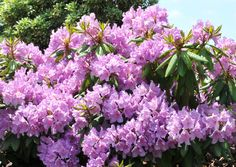Boursault Rhododendron (2m high & wide) Georgeous light purple flower with green foliage. Blooms late spring. Full sun to part shade. Zone 5. Canadale Nurseries Ltd.