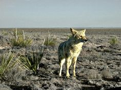 Coyote by C.A.Taylor, via Flickr