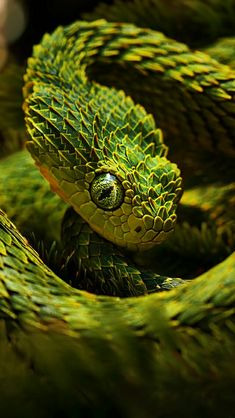 Green Snake - I believe this is a bush viper of some sort