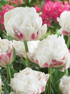 Double peony tulip Ice Wonder- we've been getting these in a lot lately. so beautiful.