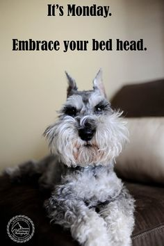 Monday Bedhead Remington by Fix Your Images Photography #Miniature #Schnauzer