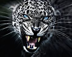 Photo # 7862328562 Black and White Animal Pictures Nature Animals, Animals And Pets, Cute Animals, Beautiful Cats, Animals Beautiful, Animal Jaguar, Bad Cats, Majestic Animals, Tier Fotos