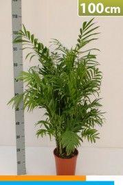 Kamer planten online kopen  Chamaedorea Mexicaanse palm